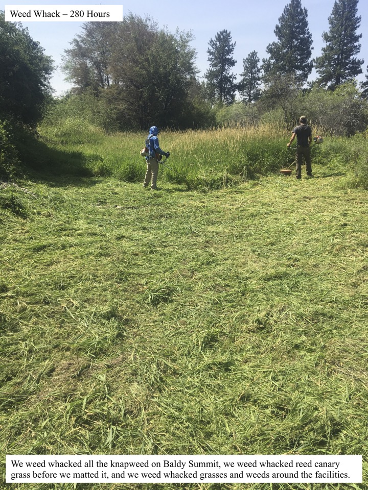We weed whacked all the knapweed on Baldy Summit, we weed whacked reed canary grass before we matted it, and we weed whacked grasses and weeds around the facilities.