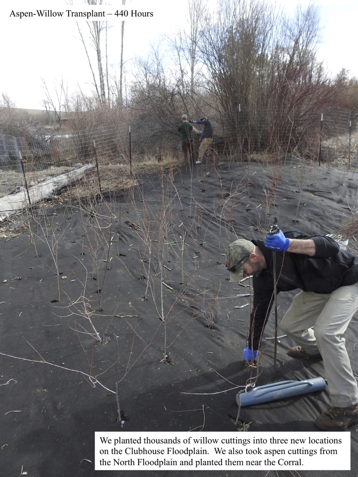 We planted thousands of willow cuttings into three new locations on the Clubhouse Floodplain.