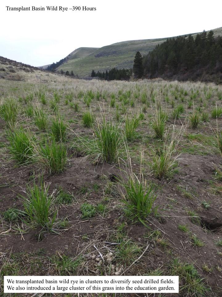 Transplant Basin Wild Rye –390 Hours