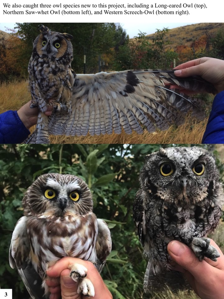 We also caught three owl species new to this project, including a Long-eared Owl (top), Northern Saw-whet Owl (bottom left), and Western Screech-Owl (bottom right).