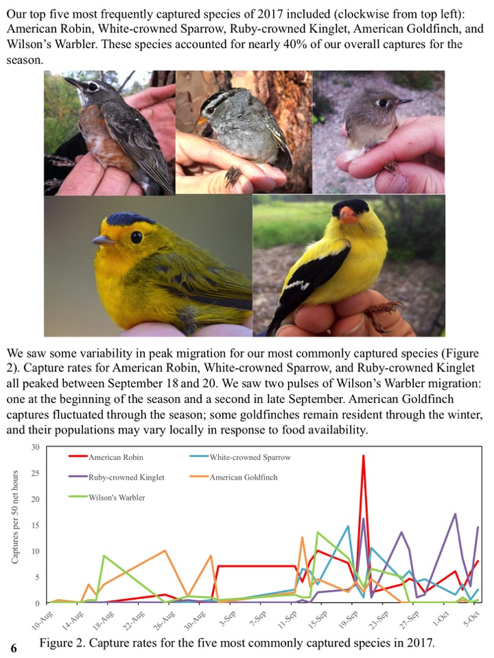 Our top five most frequently captured species of 2017 included (clockwise from top left): American Robin, White-crowned Sparrow, Ruby-crowned Kinglet, American Goldfinch, and Wilson's Warbler. These species accounted for nearly 40% of our overall captures