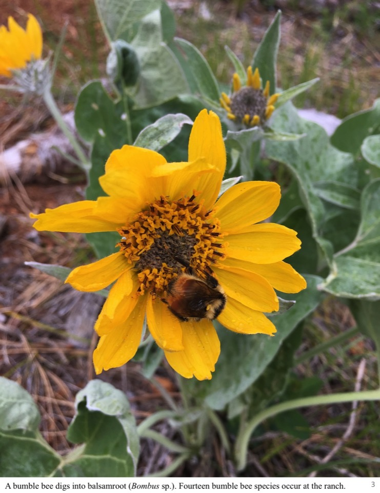 A bumble bee digs into balsamroot