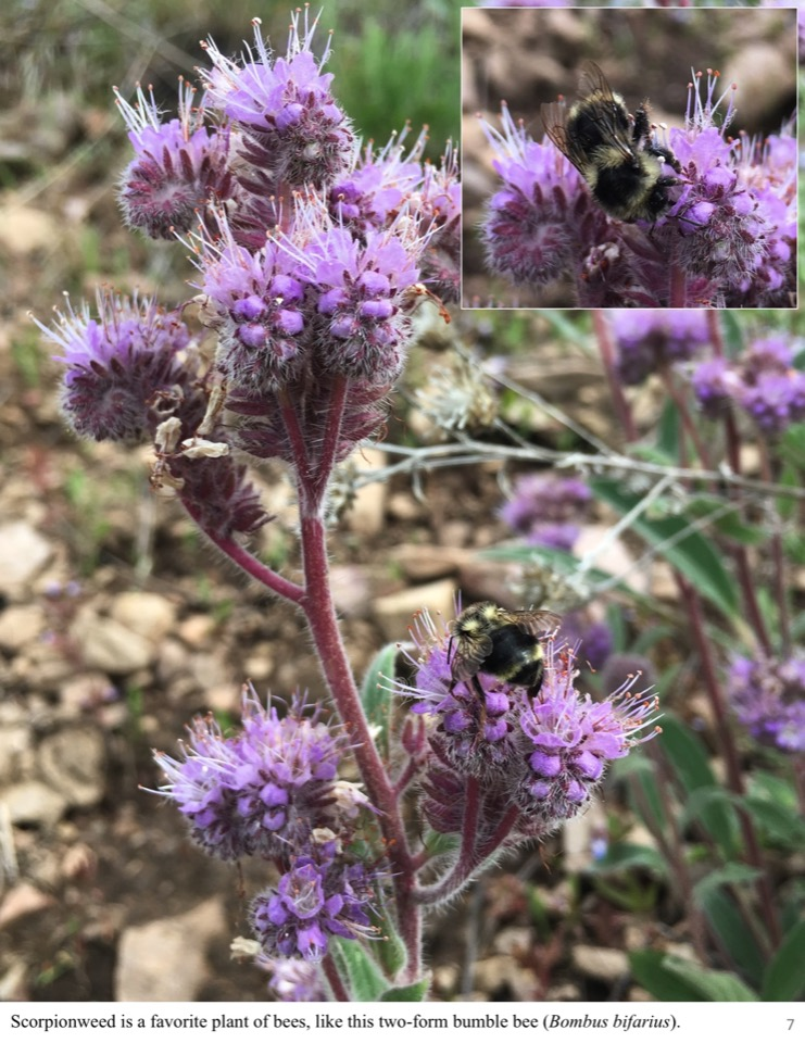 Scorpionweed is a favorite plant of bees, like this two-form bumble bee (Bombus bifarius).