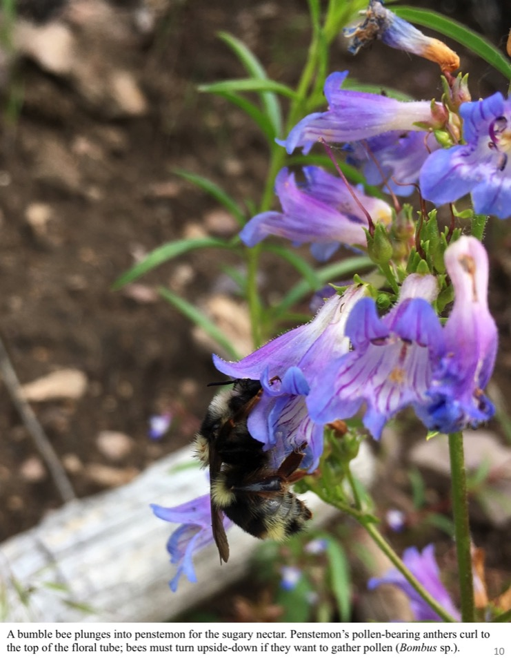 A bumble bee plunges into penstemon for the sugary nectar.