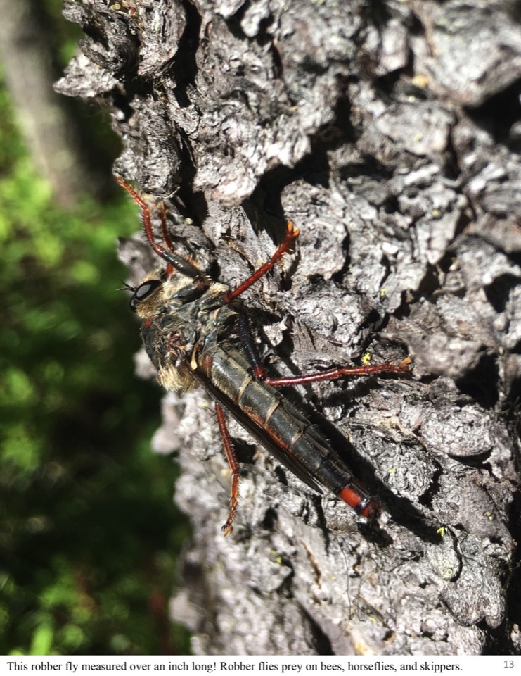 This robber fly measured over an inch long! Robber flies prey on bees, horseflies, and skippers.
