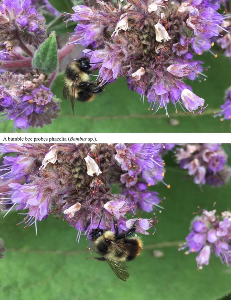 A bumble bee probes phacelia.
