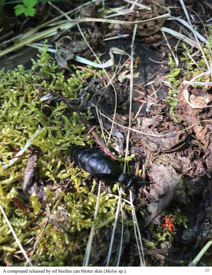 A compound released by oil beetles can blister skin.