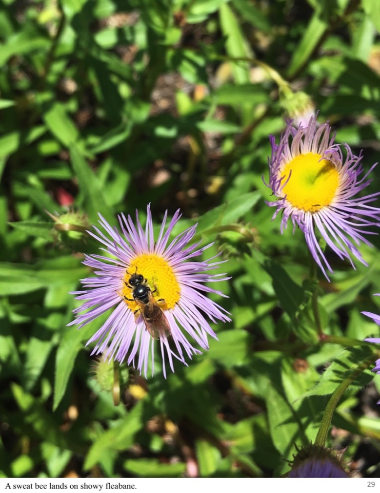 A sweat bee lands on showy fleabane.