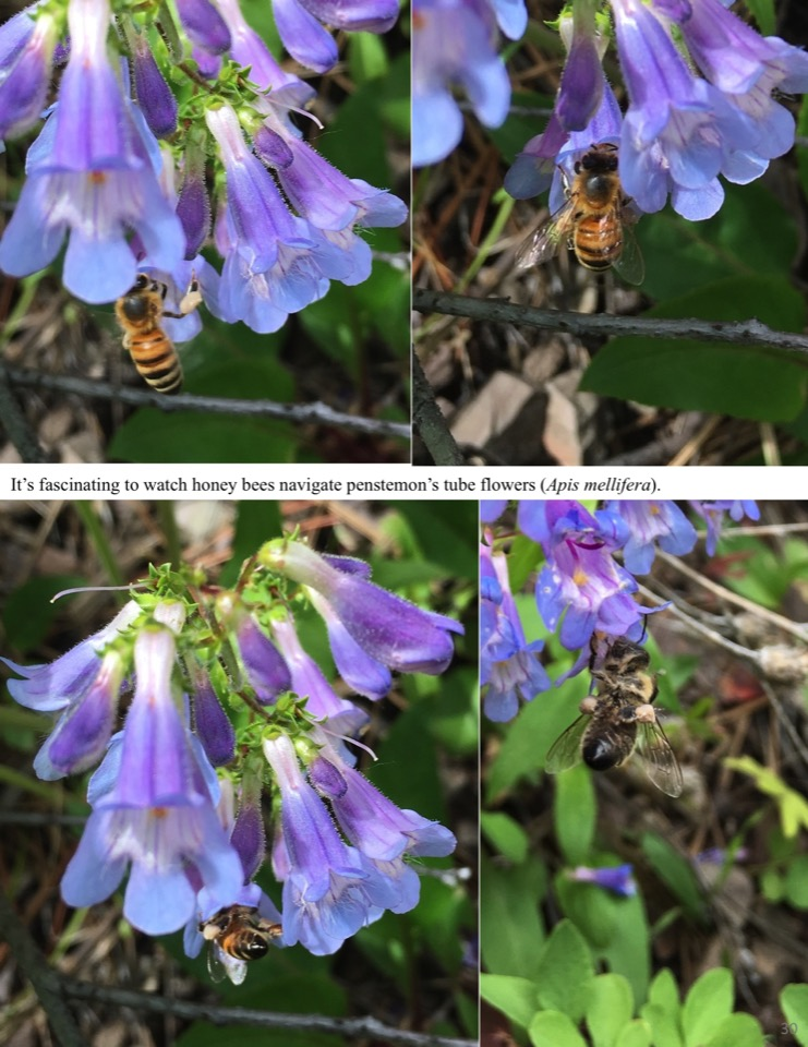 It's fascinating to watch honey bees navigate penstemon's tube flowers.