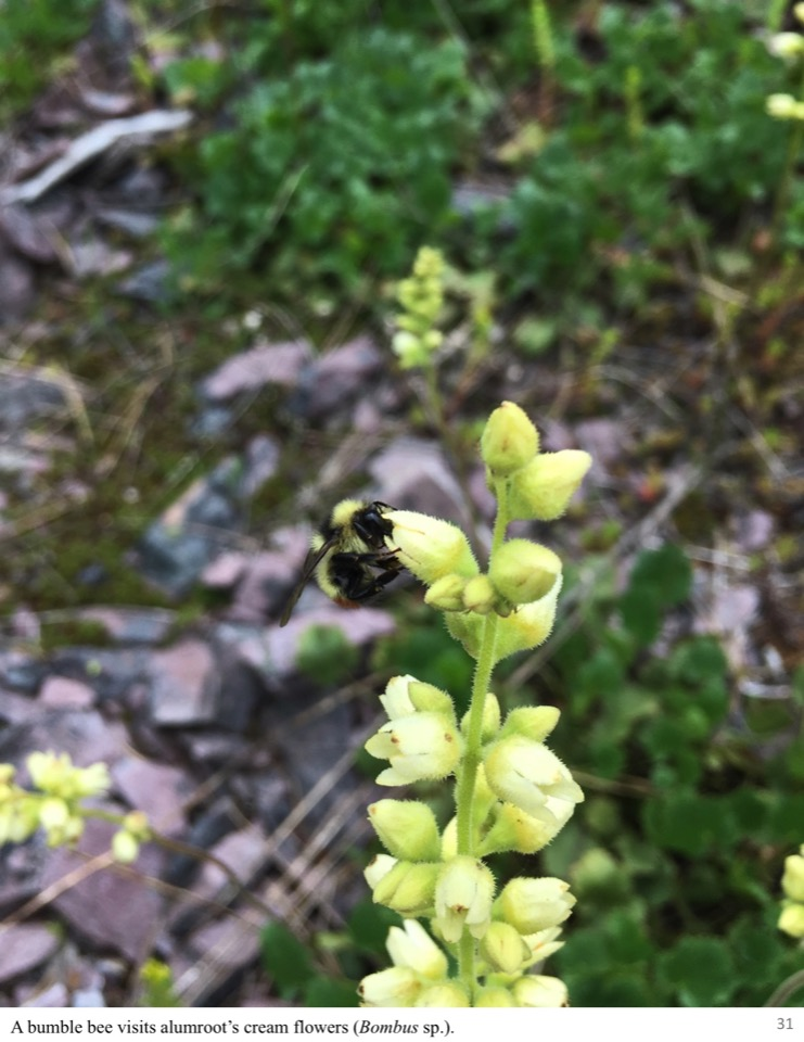A bumble bee visits alumroot's cream flowers.