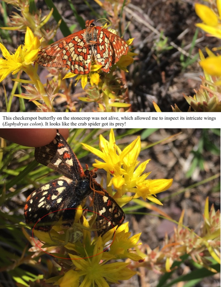 This checkerspot butterfly on the stonecrop was not alive, which allowed me to inspect its intricate wings