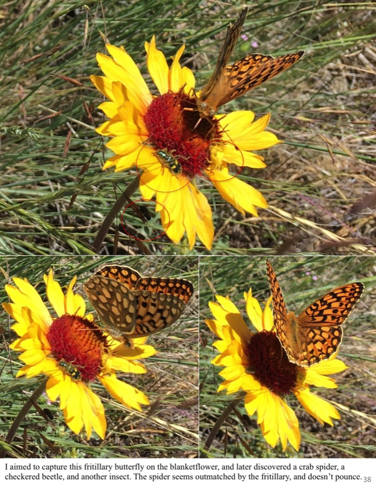 I aimed to capture this fritillary butterfly on the blanketflower, and later discovered a crab spider, a checkered beetle, and another insect.