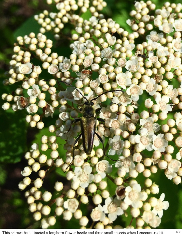 This spiraea had attracted a longhorn flower beetle and three small insects when I encountered it.