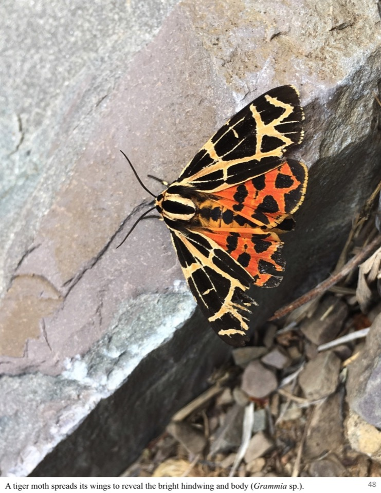 A tiger moth spreads its wings to reveal the bright hindwing and body.