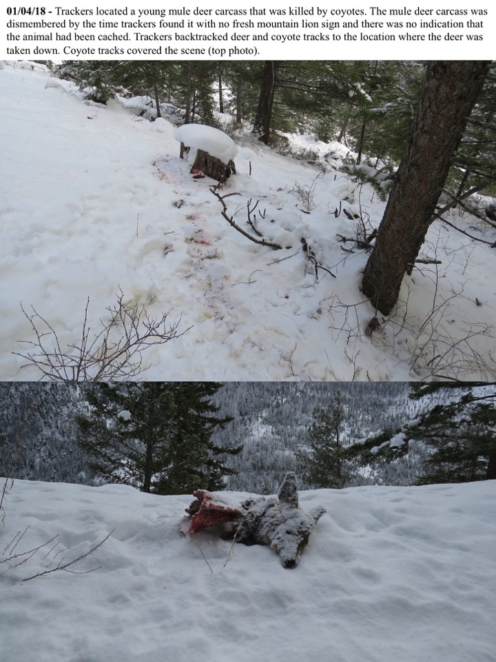 Trackers located a young mule deer carcass that was killed by coyotes.