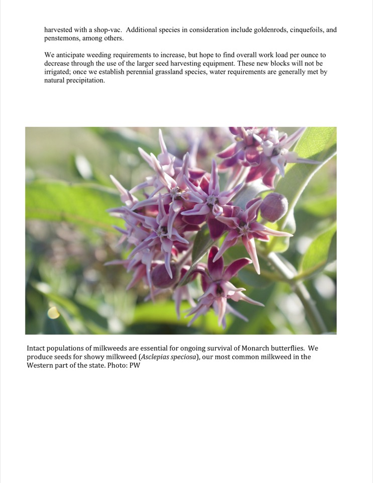 We produce seeds for showy milkweed (Asclepias speciosa), our most common milkweed in the Western part of the state.