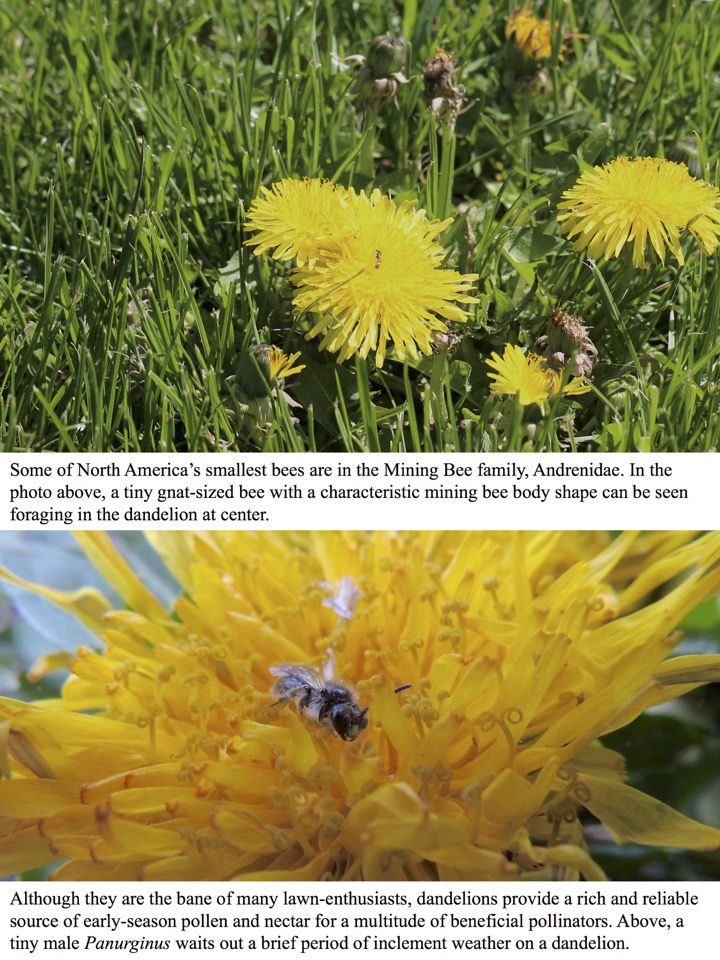 Some of North America's smallest bees are in the Mining Bee family, Andrenidae.