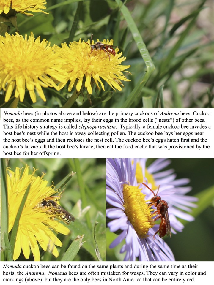"Nomada bees (in photos above and below) are the primary cuckoos of Andrena bees. Cuckoo bees, as the common name implies, lay their eggs in the brood cells (""nests"") of other bees."