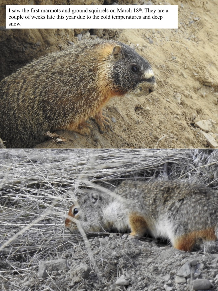 I saw the first marmots and ground squirrels on March 18th.
