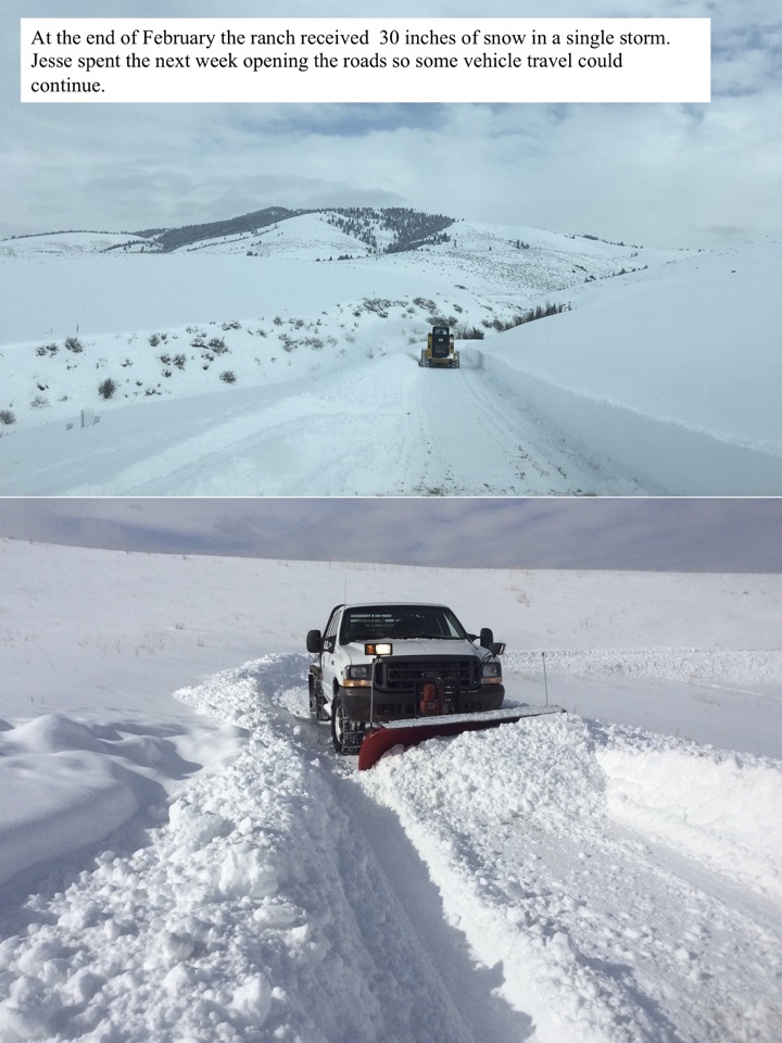 At the end of February the ranch received 30 inches of snow in a single storm. Jesse spent the next week opening the roads so some vehicle travel could continue.