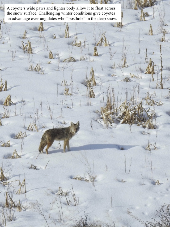 A  coyote's wide paws and lighter body allow it to float across the snow surface.