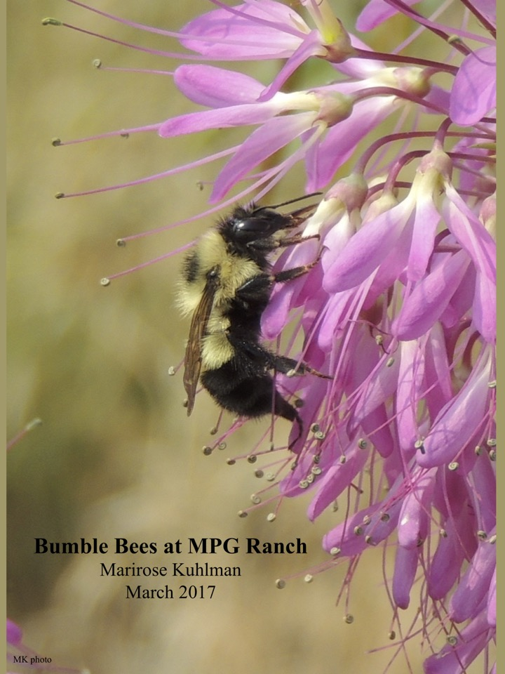 Bumble Bees at MPG Ranch