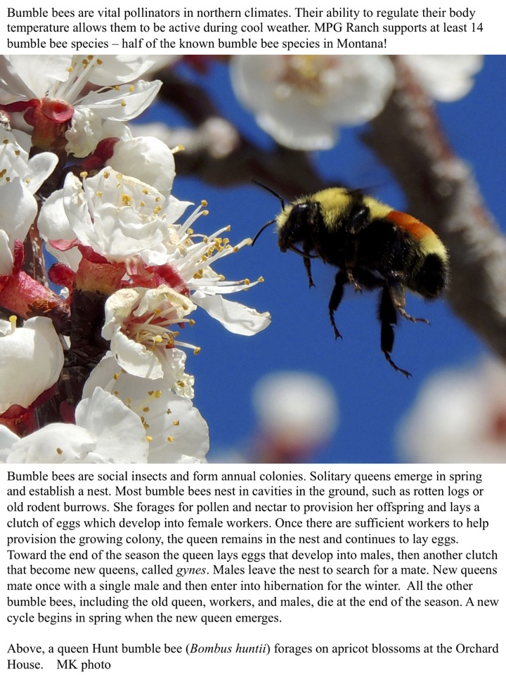 MPG Ranch supports at least 14 bumble bee species – half of the known bumble bee species in Montana!