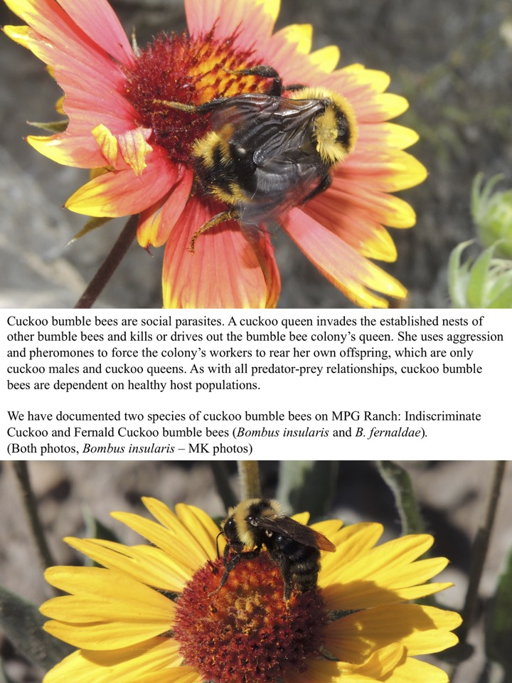 Cuckoo bumble bees are social parasites. A cuckoo queen invades the established nests of other bumble bees and kills or drives out the bumble bee colony's queen