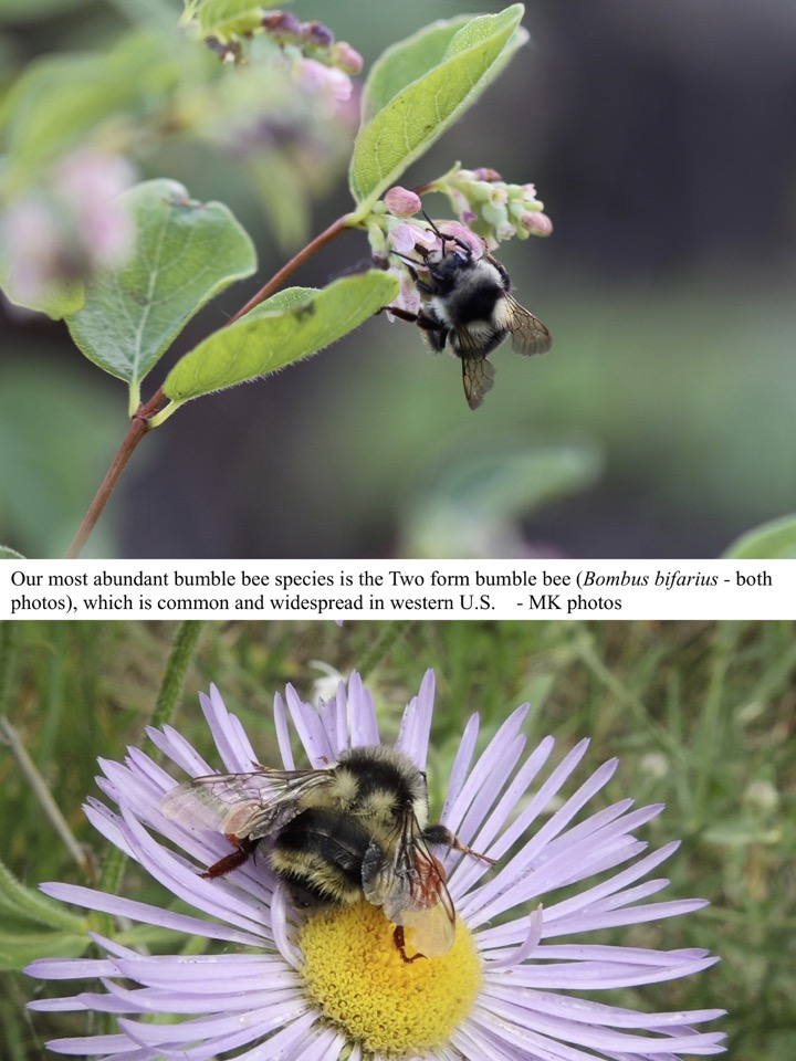 Our most abundant bumble bee species is the Two form bumble bee