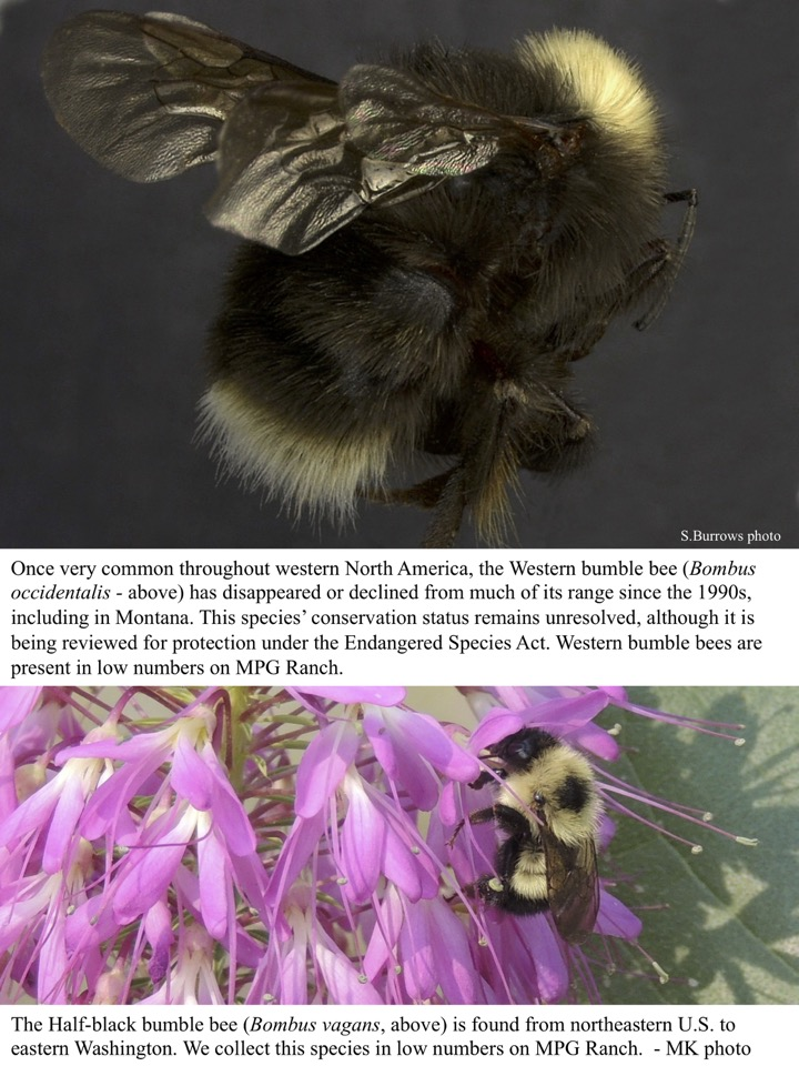 Once very common throughout western North America, the Western bumble bee (Bombus occidentalis - above) has disappeared or declined from much of its range since the 1990s