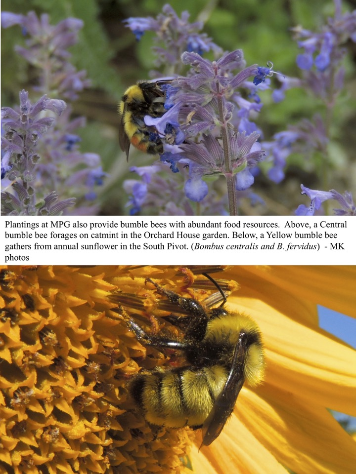 Plantings at MPG also provide bumble bees with abundant food resources.