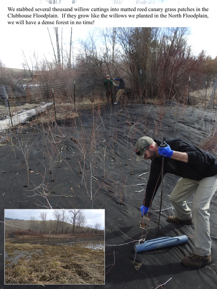 We stabbed several thousand willow cuttings into matted reed canary grass patches in the Clubhouse Floodplain.