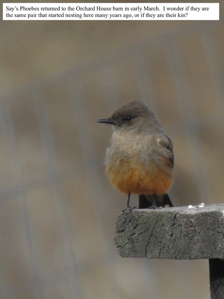 Say's Phoebes returned to the Orchard House barn in early March