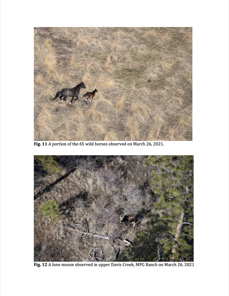 A lone moose observed in upper Davis Creek, MPG Ranch on March 26, 2021