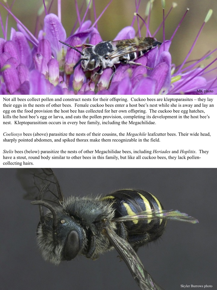 Not all bees collect pollen and construct nests for their offspring. Cuckoo bees are kleptoparasites – they lay their eggs in the nests of other bees