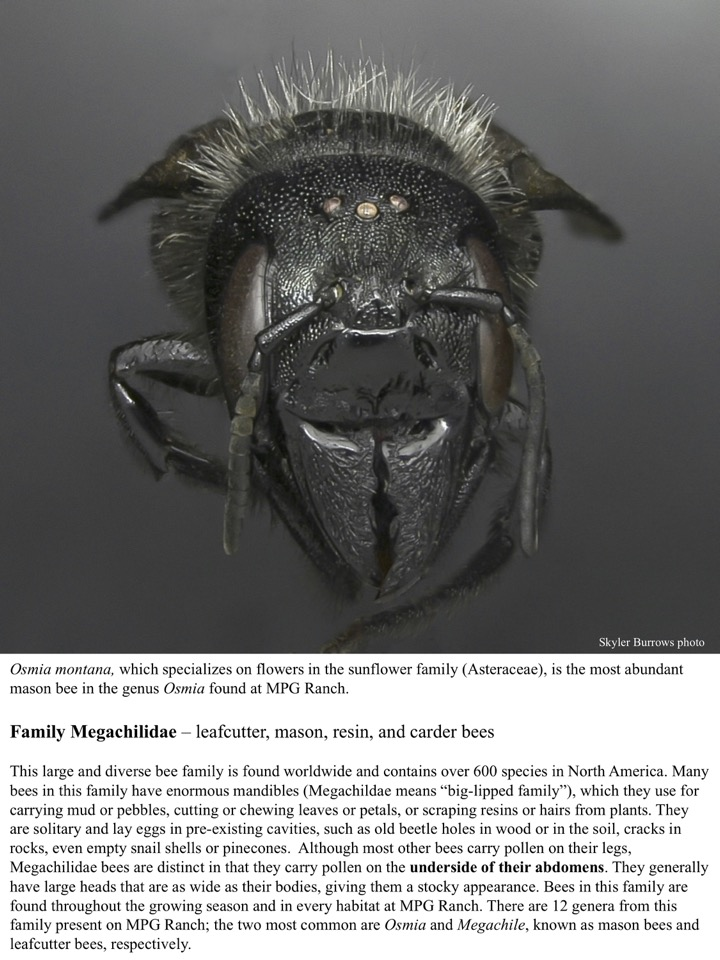 Osmia montana, which specializes on flowers in the sunflower family (Asteraceae), is the most abundant mason bee in the genus Osmia found at MPG Ranch.