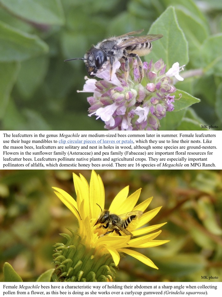 The leafcutters in the genus Megachile are medium-sized bees common later in summer. Female leafcutters use their huge mandibles to clip circular pieces of leaves or petals, which they use to line their nests