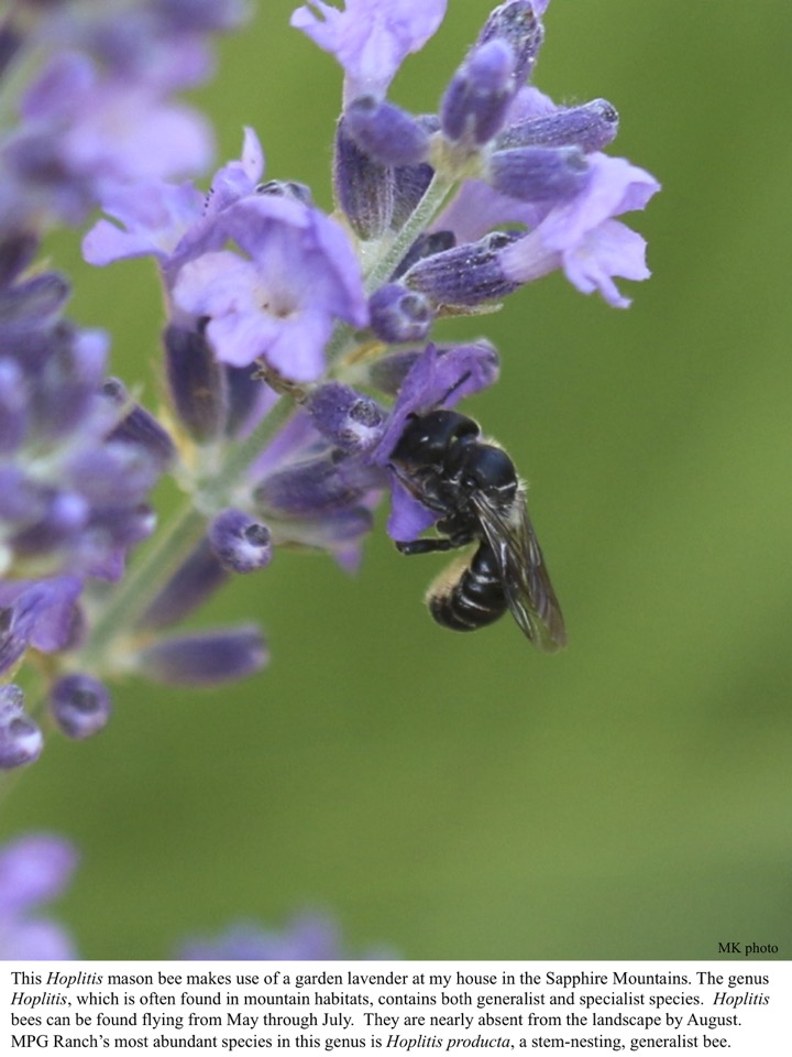 This Hoplitis mason bee makes use of a garden lavender at my house in the Sapphire Mountains.