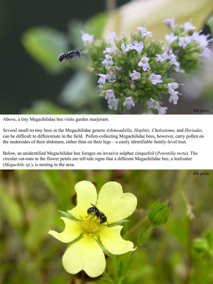 Several small-to-tiny bees in the Megachilidae genera Ashmeadiella, Hoplitis, Chelostoma, and Heriades, can be difficult to differentiate in the field.