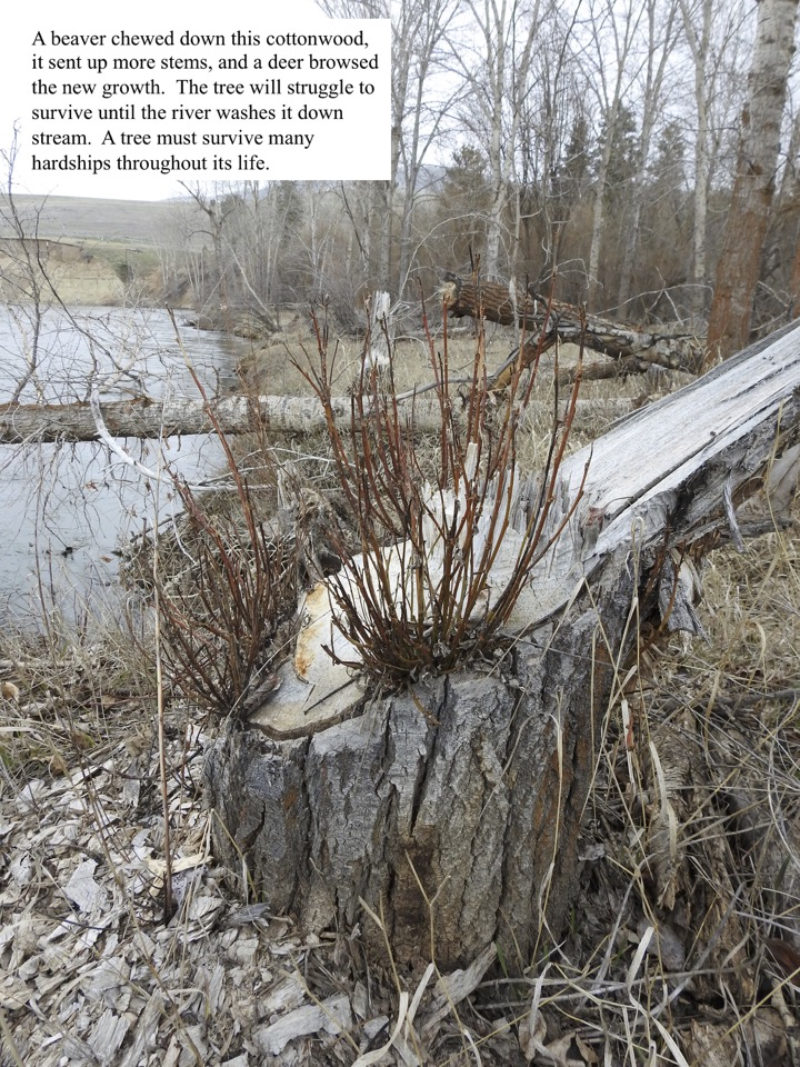 A beaver chewed down this cottonwood, it sent up more stems, and a deer browsed the new growth.