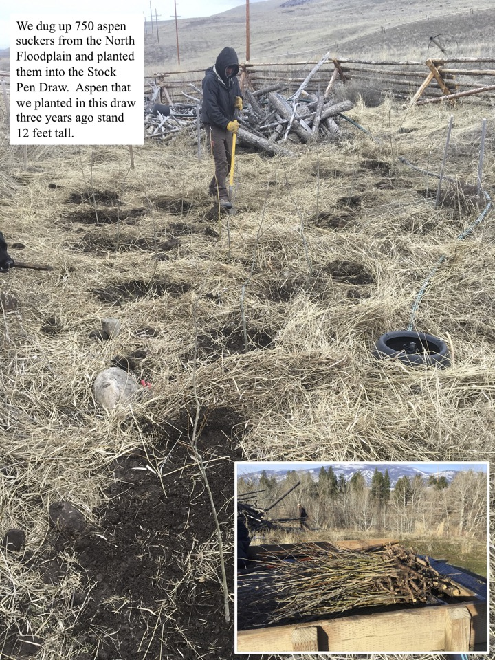 We dug up 750 aspen suckers from the North Floodplain and planted them into the Stock Pen Draw.