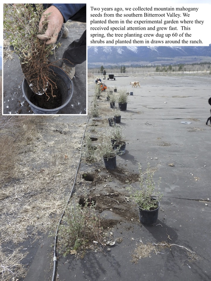 Two years ago, we collected mountain mahogany seeds from the southern Bitterroot Valley. We planted them in the experimental garden where they received special attention and grew fast.