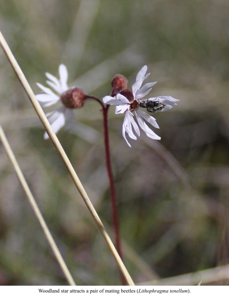 Woodland star attracts a pair of mating beetles