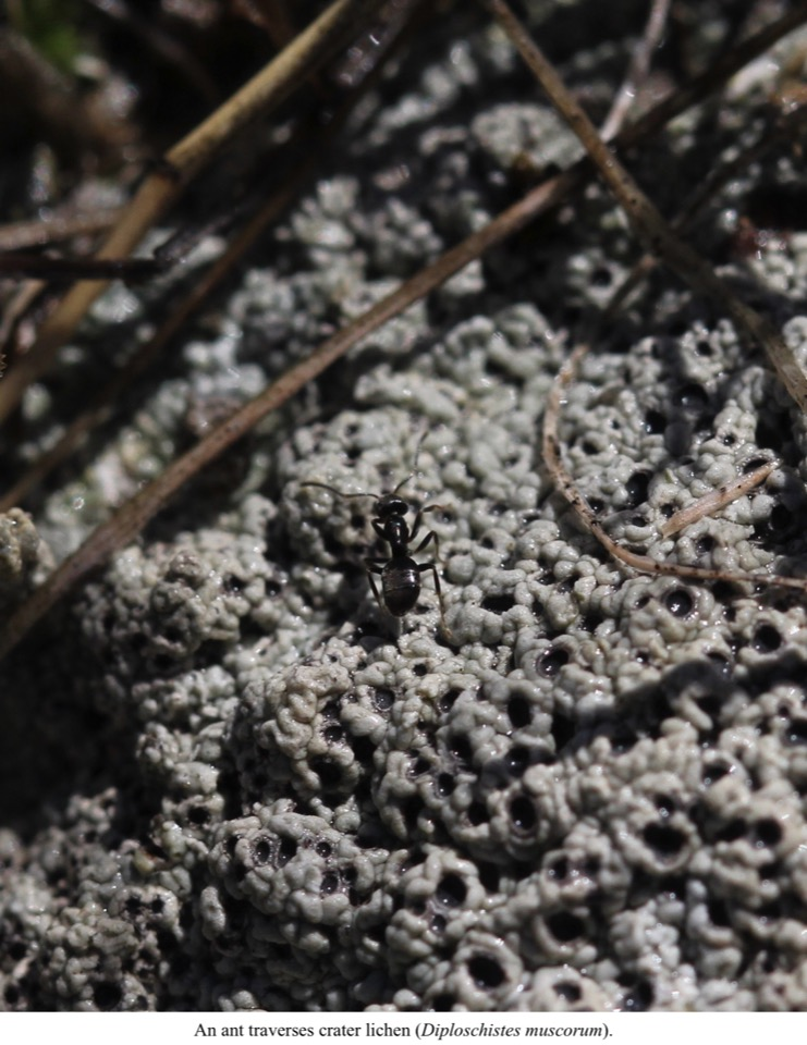 An ant traverses crater lichen