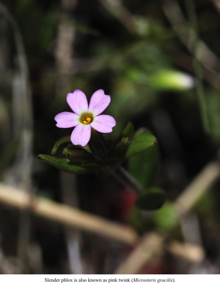 Slender phlox is also known as pink twink