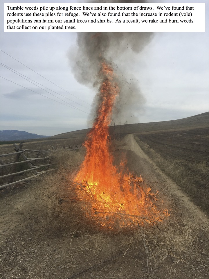 We've found that rodents use tumbleweed piles for refuge. We've also found that the increase in rodent (vole) populations can harm our small trees and shrubs. As a result, we rake and burn weeds that collect on our planted trees.