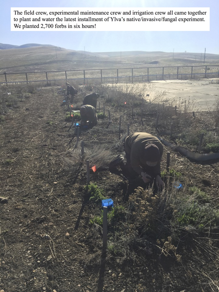 The field crew, experimental maintenance crew and irrigation crew all came together to plant and water the latest installment of Ylva's native/invasive/fungal experiment.