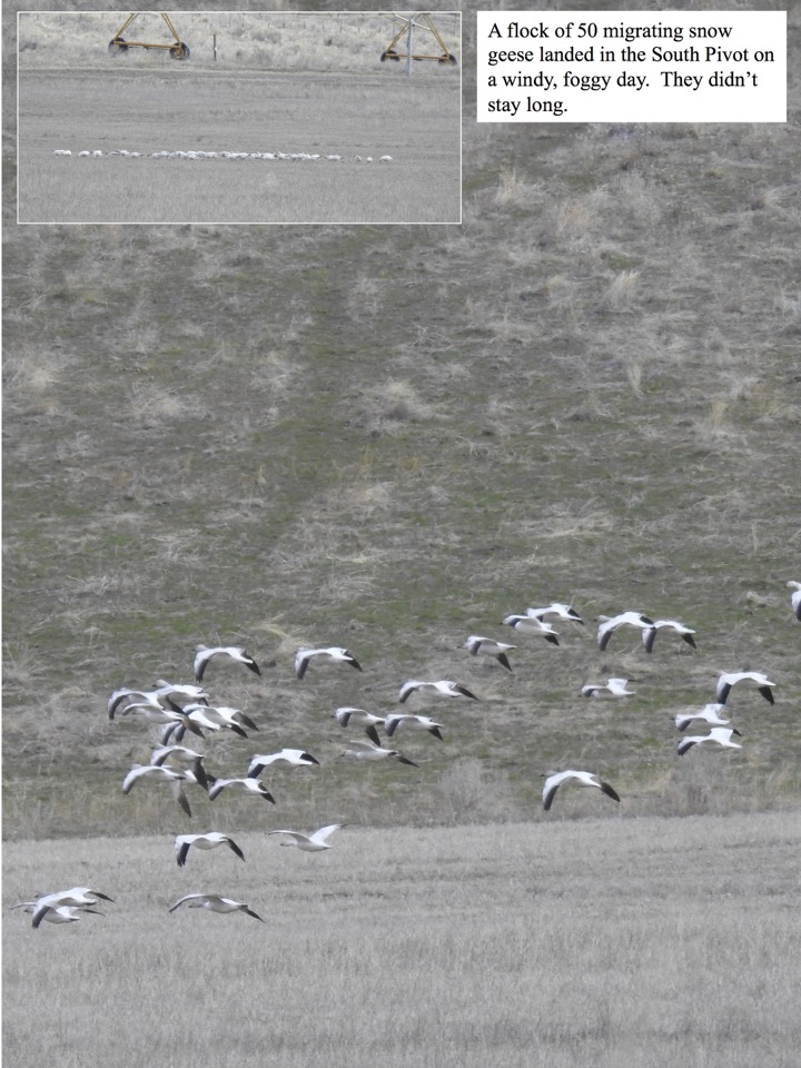 A flock of 50 migrating snow geese landed in the South Pivot on a windy, foggy day