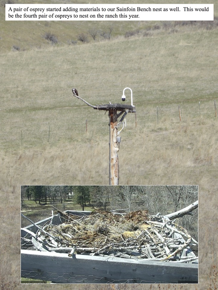 A pair of osprey started adding materials to our Sainfoin Bench nest.