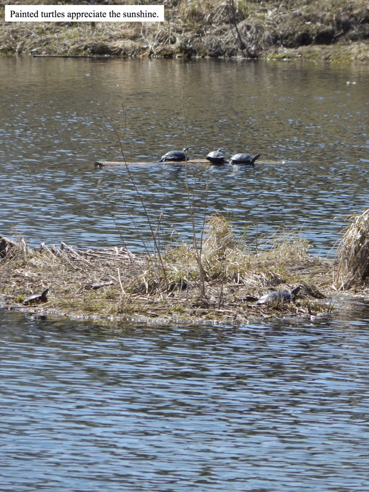 Painted turtles appreciate the sunshine.